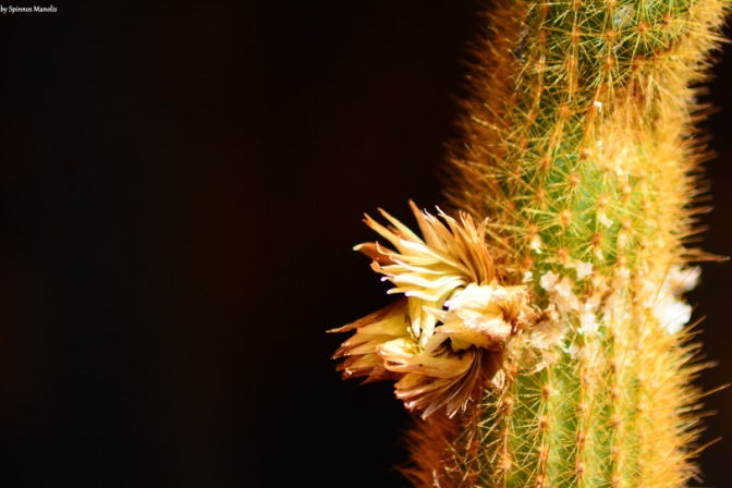 Flower on cactus