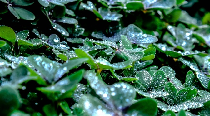 Drops over a Clover..1